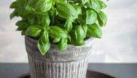Stresli İnsanlar için İlaç Gibi Gelecek Bitkiler